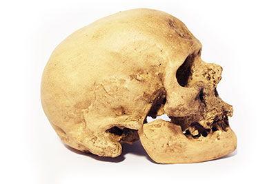 craneo homo sapiens